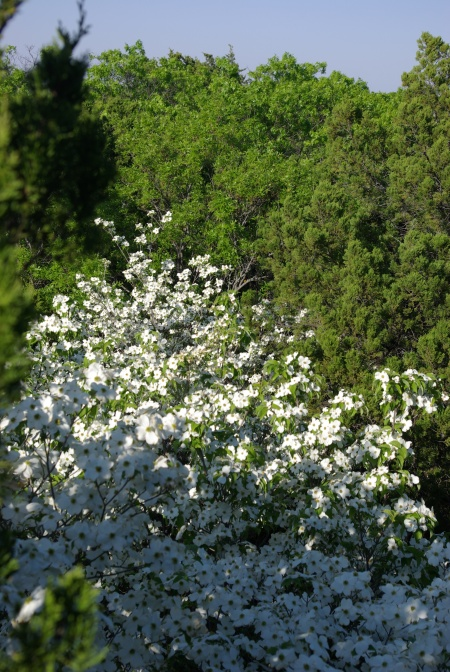 18 feet up, a floating carpet of dogwood blossoms - Dogwood Canyon, Texas