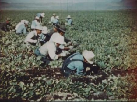 "Japanese-descended American citizens harvesting crops they grew during internment during World War II. Screen capture from ""Challege to Democracy."""