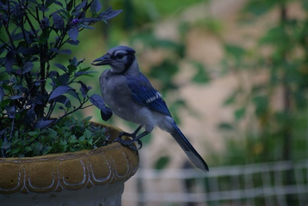 Blue Jay wrestles the pepper from the plant