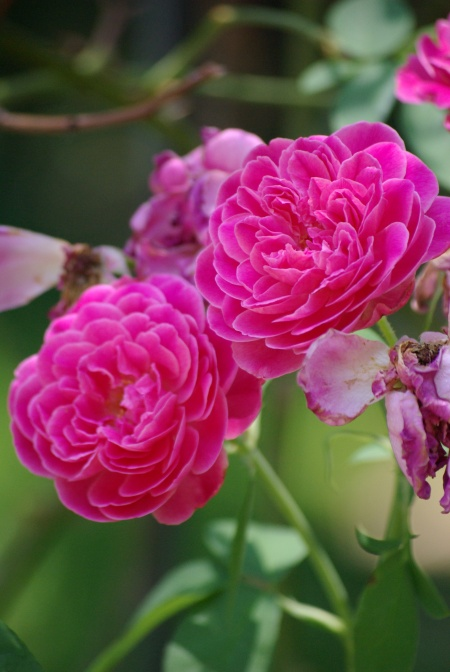 """Exquisite blooms of the """"Maggie"""" rose (bourbon class) - in Kathryn Knowles' garden, summer 2009"""