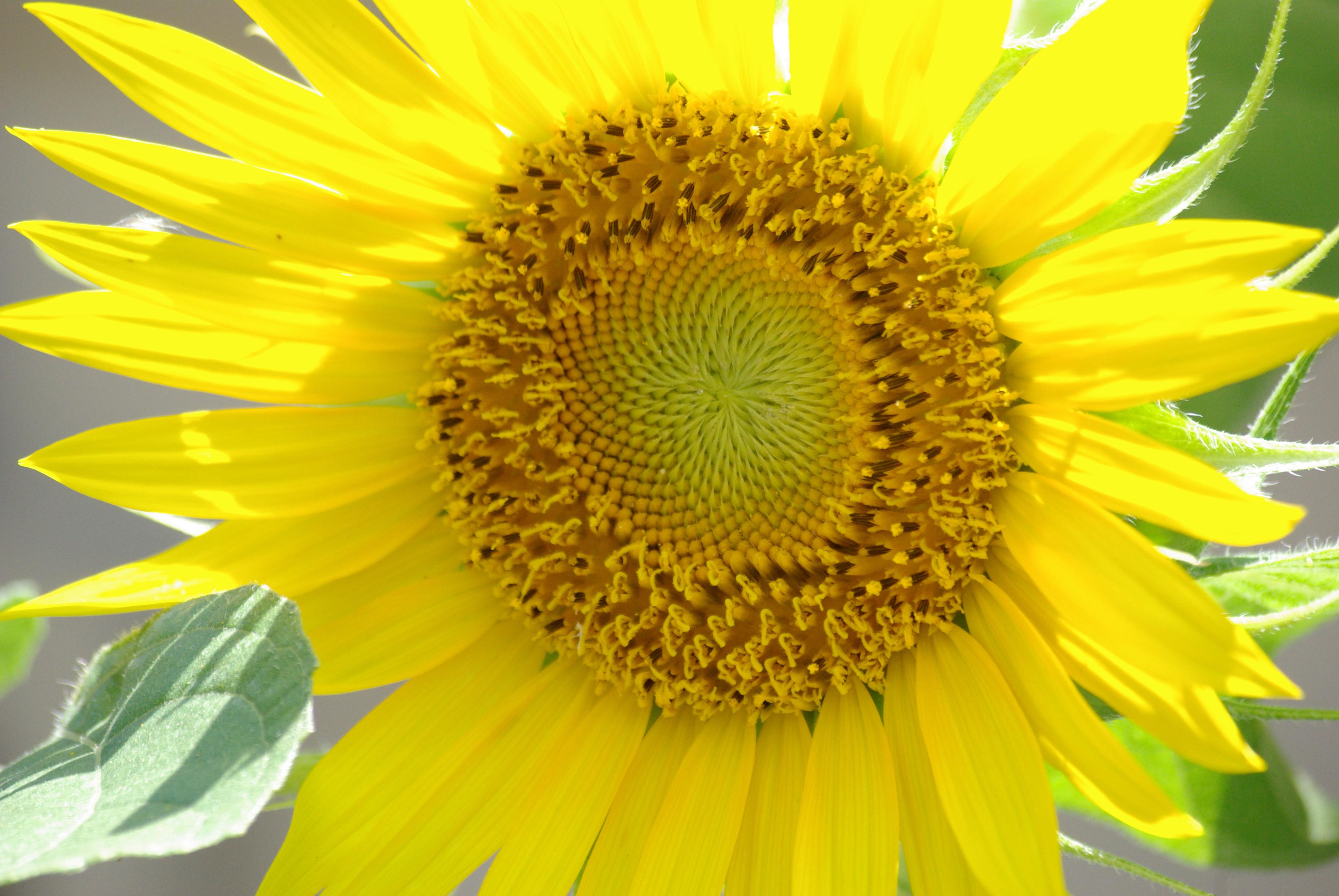 A bird-planted sunflower in Kathryn's garden - copyright 2009, Ed Darrell