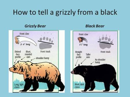 Grizzly bear/black bear identification chart, adapted from USFWS by Ed Darrell, Millard Fillmore's Bathtub