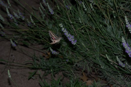 Hummingbird moth at the lavender, #2 - IMGP4107 - photo by Ed Darrell, all rights reservedHummingbird moth at the lavender, #2 - IMGP4107 - photo by Ed Darrell, all rights reserved
