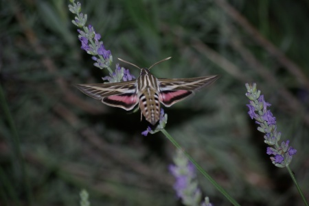 Hummingbird moth at the lavender, May 25, 2010