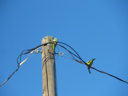 Monk parakeets assaulting an electrical transmission line.  Photo by Ed Darrell