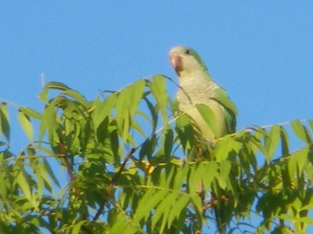 Monk parakeet in the <del>locust</del> Chinese pistache tree - photo by Ed Darrell - IMGP2237