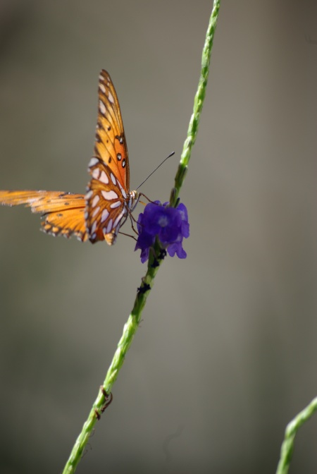 Gulf fritillary on blue porterweed - photo by Ed Darrell, use permitted with attribution - IMGP4822