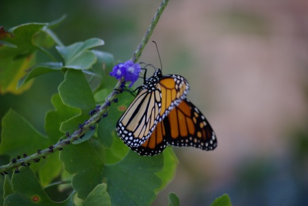 Monarch butterfly on blue porterweed, Dallas, TX October 2010 - photo by Ed Darrell IMGP5343