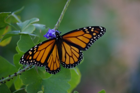 Monarch  butterfly on blue porterweed, Dallas, Texas October 2010 - photo by Ed Darrell IMGP5345