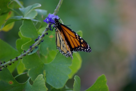 Monarch butterfly on blue porterweed, Dallas, October 20101 - photo by Ed Darrell IMGP5347