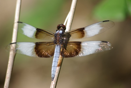 Dragon fly, Pied Paddy Skimmer, Neurothemis tullia - photo by Ed Darrell copyright 2011, use permitted with attribution
