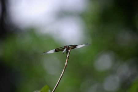 Dragon fly in Duncanville Lions Park, photo by Ed Darrell - use permitted with attribution