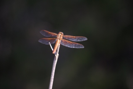 Red Dragonfly in Colorado Bend State Park, Texas (photo by Ed Darrell)