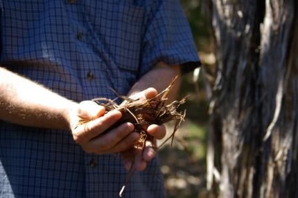 David Hurt demonstrates how yellow-cheeked warblers use Ashe junipers to nest - 03-25-2012 import 708 - photo by Ed Darrell