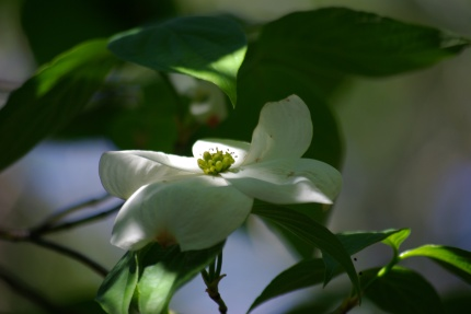 Dogwood blossom at Dogwood Canyon, Cedar Hill, Texas 03-25-2012 import 737 - Photo by Ed Darrell, use permitted with attribution