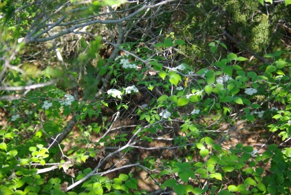 Dogwood blossoms, Dogwood Canyon Audubon Center 03-25-2012 import 744 - phot by Ed Darrell