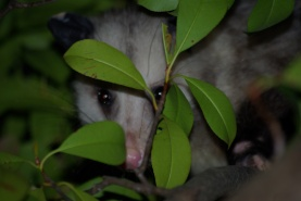 Possum in dallas, peeking through the photinia