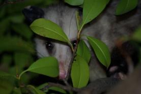 Possum in dallas, peeking through the photinia