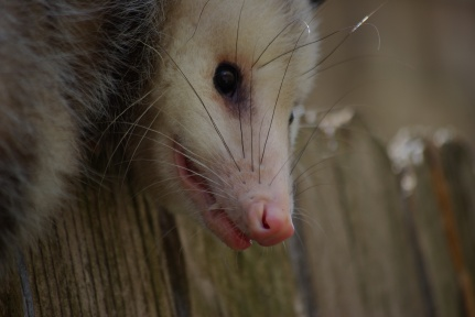 Possum on the fence in Dallas IMGP8930 - Ed Darrell photo, creative commons