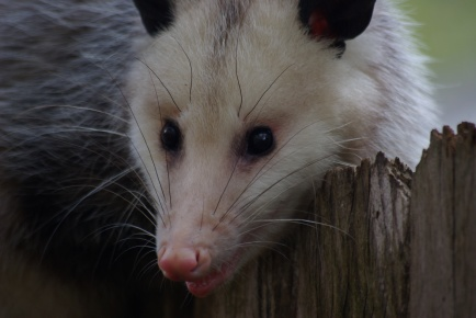 Possum on the fence - IMGP8933 Ed Darrell photo, creative commons