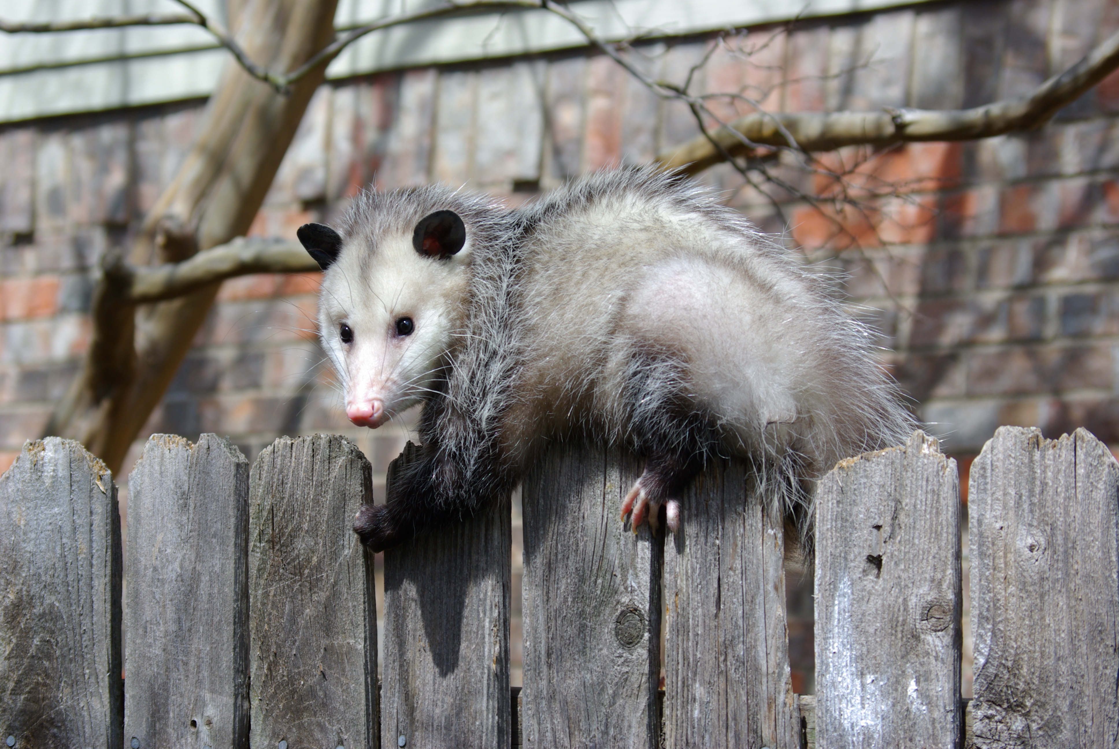 Fence For Dogs >> Possibly more 'possum | Millard Fillmore's Bathtub