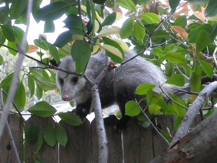 Possum on the fence IMGP2893 (2) photo by Ed Darrell creative commons copyright