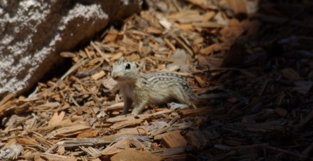 13-lined ground squirrel, photo by Ed Darrell