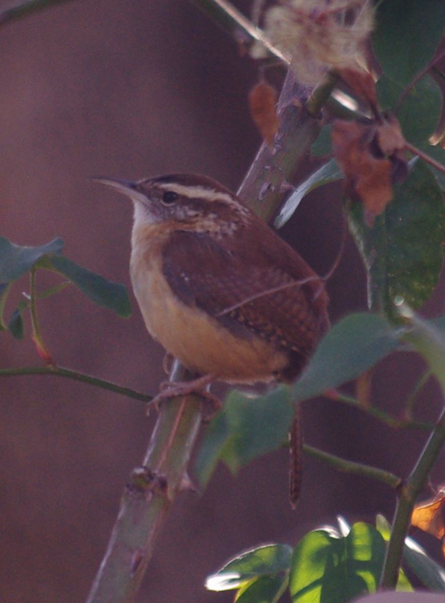 Carolina wren, perhaps, in Dalls