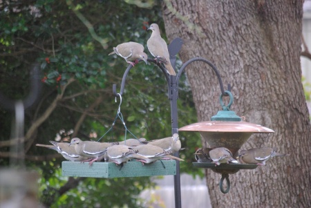 White-winged doves are really too big for any of our feeders -- but what are you going to tell a rampaging herd of them?  Photos by Ed Darrell - use encouraged with attribution.