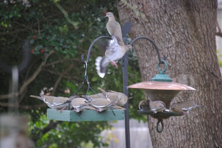 White-winged doves crowding at the bird feeders