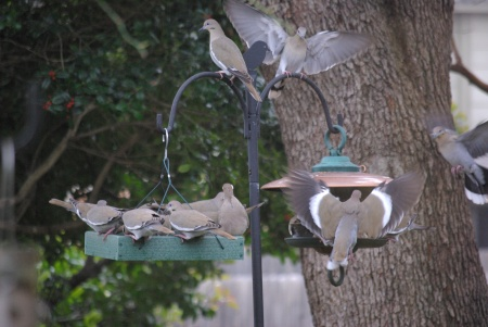 White winged doves jostle for position at the feeder.