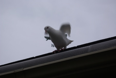 White dove ron the roof.