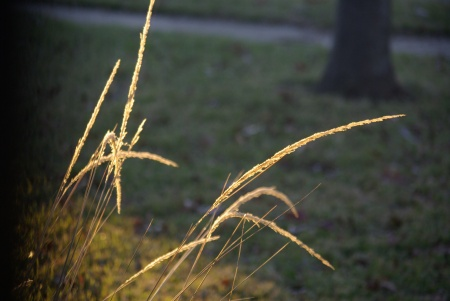 Lindheimer's muhly grass, in the afternoon sun