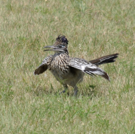 Mama Roadrunner flaps happily after ingesting a large something.