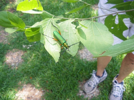 Our mystery beetle is too big to be an emerald ash borer.