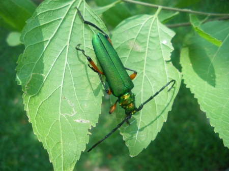 What is this one? Looks like a longhorn beetle, emerald green.