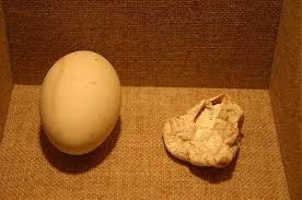 Pelican eggs: Healthy pelican egg on left, egg affected by DDT in its laying mother on right.