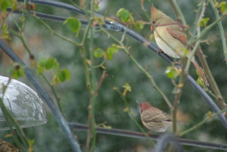 Female cardinal and male house finch await their turn at the small bird feeder.