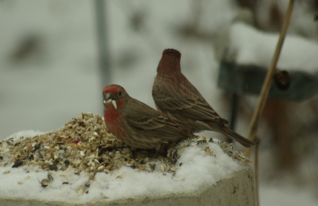 Two male house finches, probably in their first year, try to eat enough to stay warm on a snowy day in Dallas. Photo by Ed Darrell