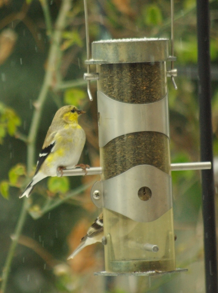 We get the goldfinches in winter, with their winter colors; some of the males may be anticipating spring a bit.