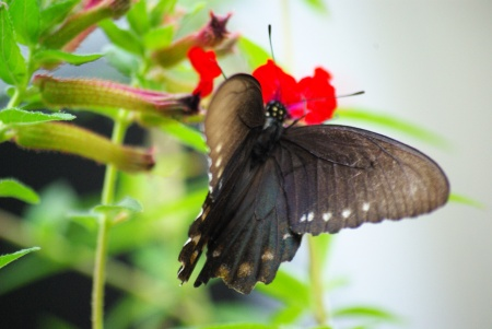 Is this a pipevine swallowtail?