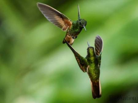 Two hummingbirds in Europe in 2017; will these birds go extinct, soon, due to agricultural use of potent pesticides that kill the insects birds need to live? AFP image via The Nation.